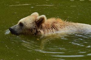 Un ours qui nage près de moi