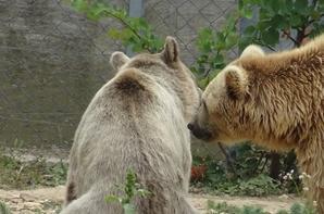 Un ours sort de l'eau et rejoint ses congénères