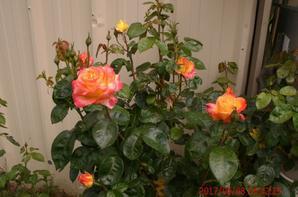 je vous offre cette jolie rose de mon jardin