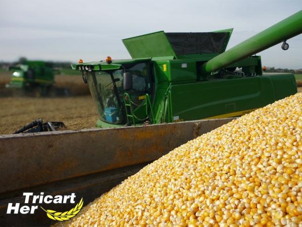 Battage de maïs grain