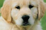 Mes races de chiens préférées 1
