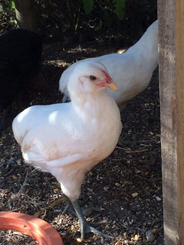 Mes poules araucana