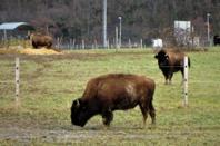 Les bisons....