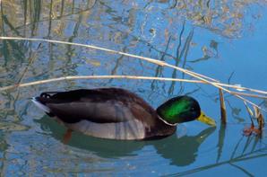 La belle vie des canards...au Soleil hivernal...