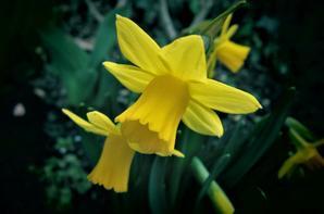 Narcisses...
