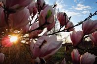 Magnolia rose....