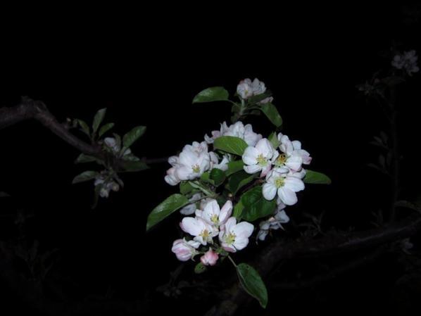 Pommier en fleur..........