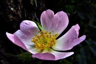 Des belles roses sauvages....