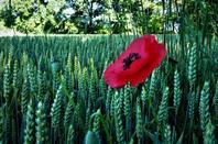 Au bord des bois...des champs de blé....