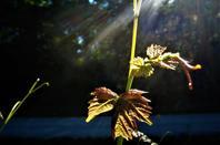 La petite vigne de chez nous...