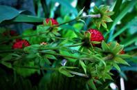 Fraises des bois...Bois de la Bagasse...