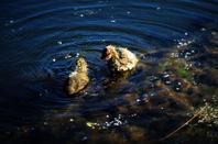 Une joli famille...des poules d'eau....