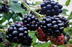 Fruits rouges des bois....