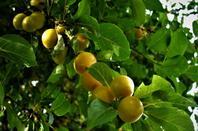 Des belles prunes...