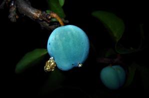 Juste beau....des belles prunes....