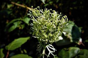 Flore sauvage.....au  bord de la (petite) forêt....