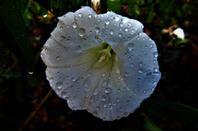 La pluie et la délicatesse des fleurs....