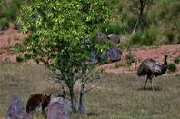 Bush australien dans les Dombes....