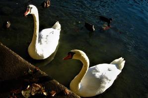 Nantua...lac des cygnes....