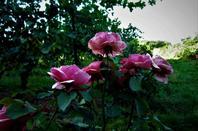 La petite vigne et ses roses....