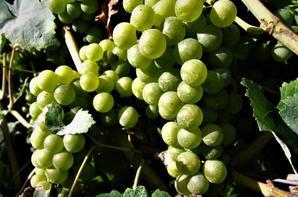 Petite vigne de chez nous....chasselas....