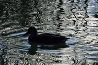 L'étang de Colovrex....