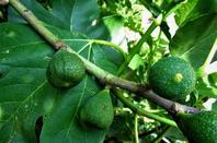 Les fruits du jardin....