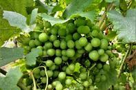 La petite vigne....