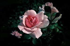 Roses d'automne....