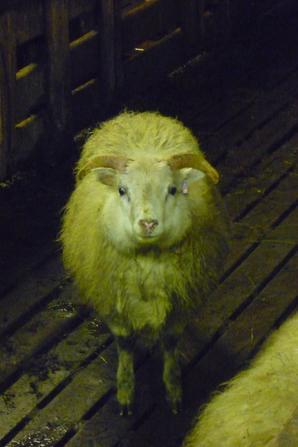 En fait, un mouton sans laine, c'est une chèvre ?