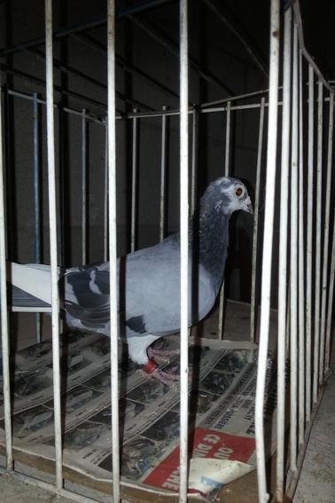 pigeon de chez leclercq david