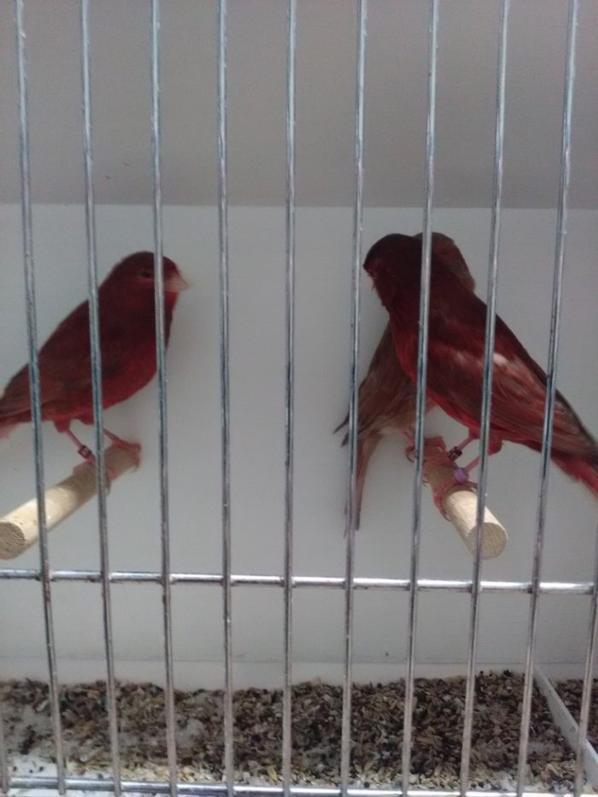 A céder canari porteur phaéo rouge
