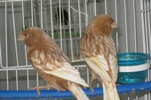2 femelles phaeo (blanc dominant à gauche 2011 et jaune schimmel à droite 2012)