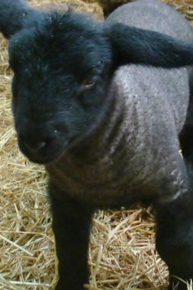 PREMIERS AGNEAUX nés vers le 20/12/2012
