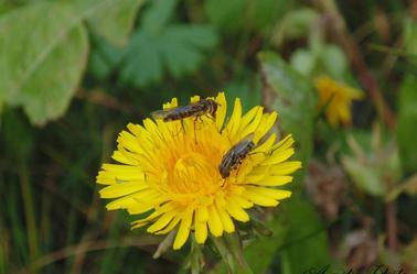Butinage d'abeille
