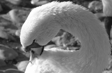 Vilain petit canard est devenu gracieux cygne...