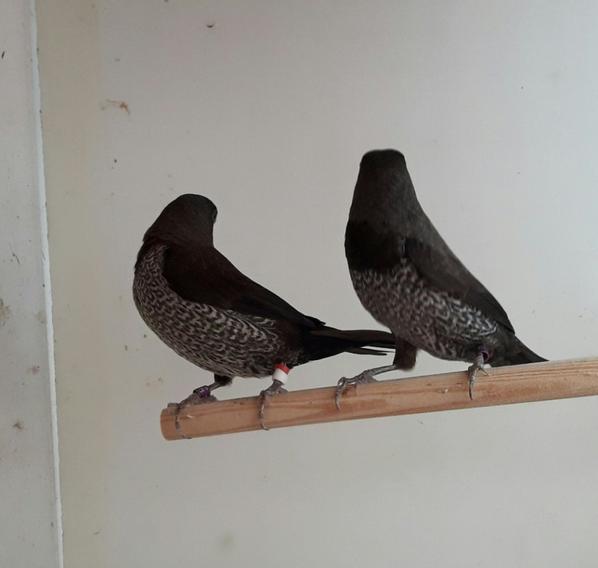 Nouveau couple noir-gris x noir-brun