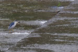 Quelques oiseaux pris au Japon