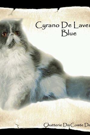 Cyrano de Lavender Blue -Mâle persan-