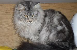 Voici Houle ma maine coon
