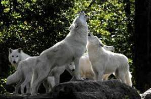 Le loup,Un animal plein de mystère
