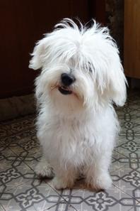 Ma petit Chanel, petite Bichon maltais, mon gros bb :)