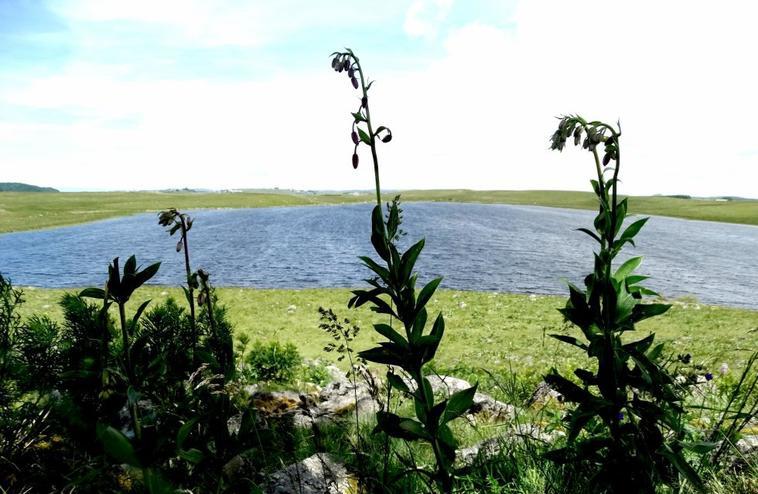 lys martagon au lac de St Andéol