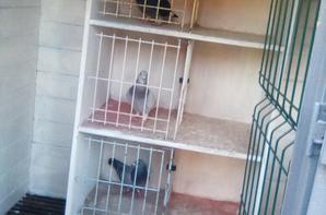Petit pigeonnier de reproducteur