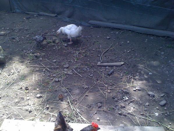 mon oie saturnin avec sa ptite poule