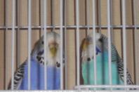 Perruches 18 novembre 2012