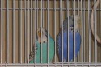 Perruches 18 novembres 2012
