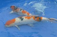 BRITISH KOI KEEPERS SOCIETY NATIONAL SHOW,