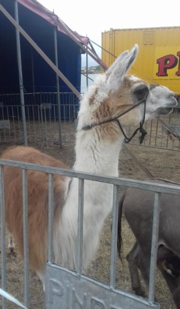 """""""Partie 2:""""les animaux sont rois au cirque Pinder Jean Richard""""."""