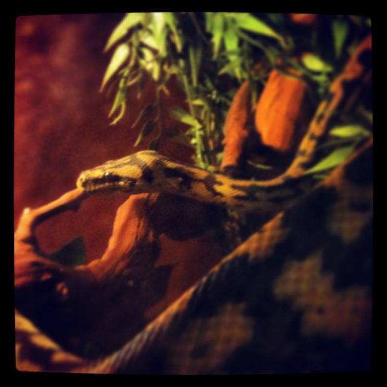 Morelia spilota variegata